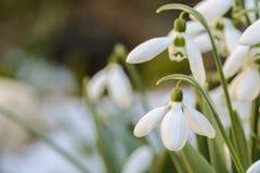 Snowdrops fecha-se acima em um jardim, mola está vindo fotografia de stock royalty free