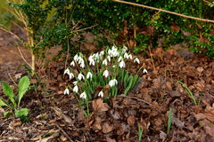 Snowdrops. First snowdrops already broken through dry brown leaves downturn of other plants to also begin to green algae and expose to the sun Royalty Free Stock Images