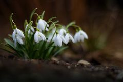 Snowdrops. The first snowdrops in the forest stock photos