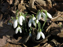 Snowdrops. The first signs of the awaking nature royalty free stock image