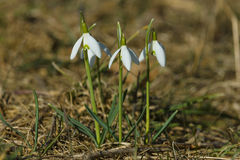 Snowdrops Royalty Free Stock Images