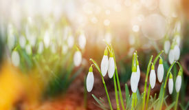 Snowdrops first spring flowers in garden or park over nature background, banner Stock Photography