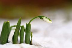 Snowdrops. First spring flowers in the snow. Natural colorful background in the garden. Galanthus.  stock photography