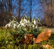 Snowdrops Stock Image