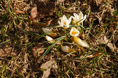 Snowdrops first white crocus wild flowers spring Royalty Free Stock Photos