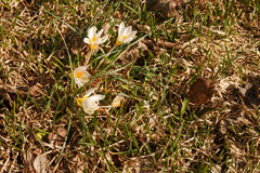 Snowdrops first white crocus wild flowers spring Royalty Free Stock Photo