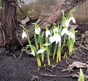 Snowdrops. The first white flowers in the spring royalty free stock photo