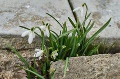 Snowdrops fjädrar in Fotografering för Bildbyråer