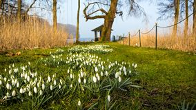 Snowdrops fjädrar in tid Royaltyfri Fotografi
