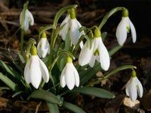 Snowdrops florecientes Fotografía de archivo libre de regalías