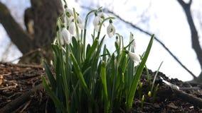 Snowdrops, flores blancas hermosas metrajes