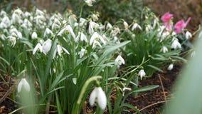 Snowdrops, flores blancas hermosas almacen de video