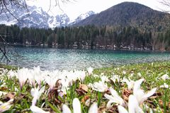 Snowdrops in flower and the beautiful Lake of Fusine Stock Images