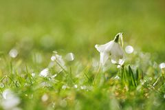 Snowdrops flower with glittering grass Royalty Free Stock Image