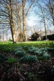 Snowdrops in flower Stock Photography