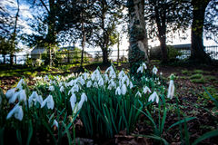 Snowdrops in flower Royalty Free Stock Photo