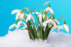 Snowdrops flowers royalty free stock images