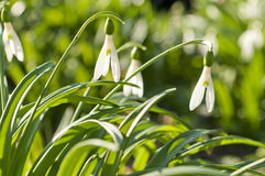 Snowdrops flowers Stock Image