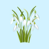 Snowdrops flowers on a blue background Royalty Free Stock Images