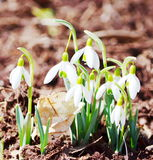 Snowdrops flowers Royalty Free Stock Photos