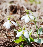 Snowdrops flowers Royalty Free Stock Photography
