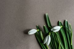 White snowdrops on a grey background, top view. royalty free stock photos