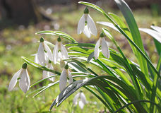 Snowdrops flowers in springtime. Floral wallpaper in natural environment Royalty Free Stock Image