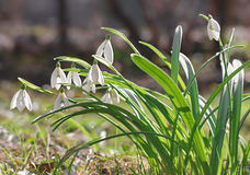 Snowdrops flowers in springtime. Floral wallpaper in natural environment Stock Image