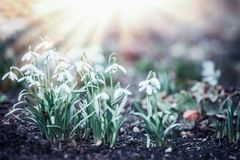 Snowdrops flowers with sun rays in garden, park or forest, spring outdoor Stock Images