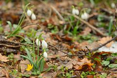 Snowdrops in forest Stock Photo