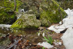 Snowdrops in forest Royalty Free Stock Images