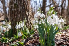 Snowdrops in the forest. Bright spring morning Stock Image