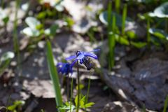 Snowdrops in the forest. Blue snowdrops in spring near the dry leaves royalty free stock image