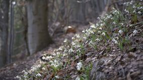 Snowdrops in forest breeze. Snowdrops moving in breeze wind in early spring forest. Dolly shot left to right up stock video