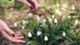 Snowdrops in the forest. close-up. female hands stroke white small flower buds. early spring stock video footage