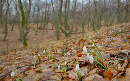 Snowdrops in forest Royalty Free Stock Photo