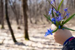 Snowdrops in the forest. Flowers snowdrops in hand. Blue little snowdrops on the palms of a child royalty free stock photo