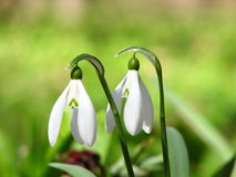 Snowdrops in the forest royalty free stock image