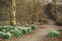 Snowdrops on the forest pathway. Blooming snowdrops on the side of a pathway in the psring forest Stock Photography
