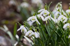 Snowdrops in the forest stock images