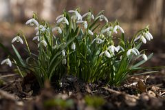 Snowdrops in the forest royalty free stock images