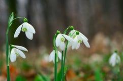 Snowdrops frescos na floresta Foto de Stock