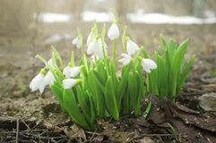 snowdrops Galanthus的芽在开花的 新鲜的白花在春天公园 免版税库存照片