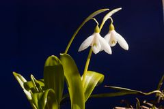 Snowdrops. Or galanthus against blue background Royalty Free Stock Image