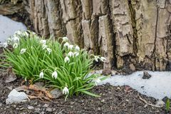 Snowdrops, Galanthus, Blooming Amidst Snow by Tree royalty free stock images
