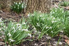Snowdrops, Galanthus, Blooming by Tree royalty free stock photos