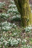 Snowdrops in springtime Royalty Free Stock Photos