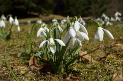 Snowdrops (Galanthus nivalis) 免版税库存图片