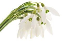 Snowdrops (Galanthus nivalis) auf weißem Hintergrund Lizenzfreie Stockfotos