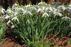 Snowdrops Galanthus nivalis Stock Image